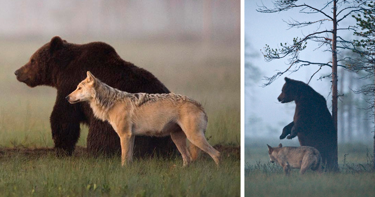 Into the Wild Festival news: Unusual Friendship Between Wolf And Bear Documented By Finnish Photographer