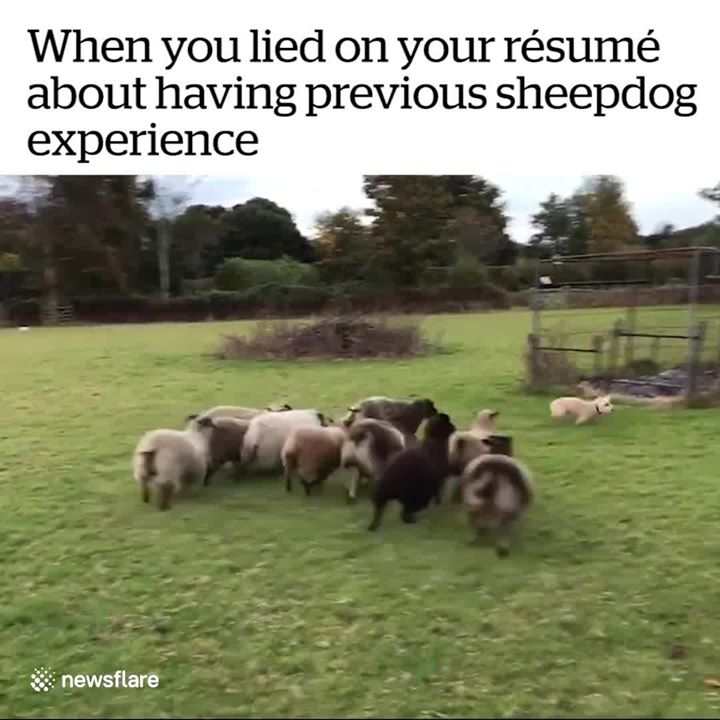Into the Wild Festival news: When you lied on your résumé about having previous sheepdog experience