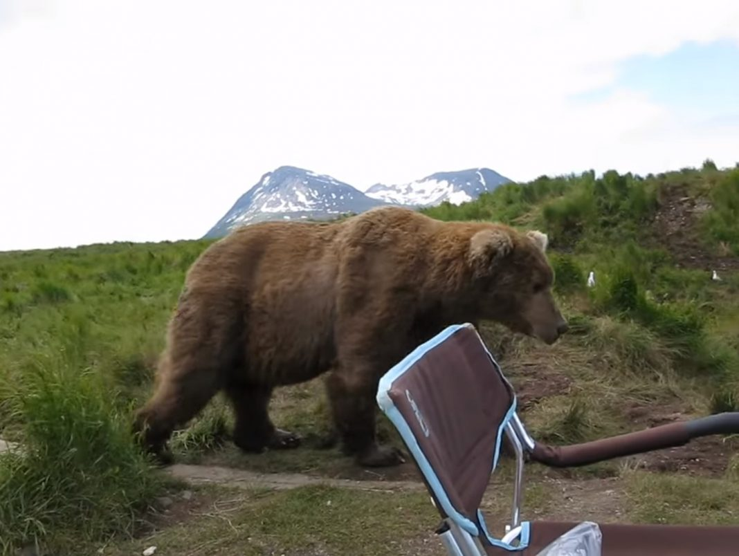 Into the Wild Festival news: Wild brown bear surprises unsuspecting man by sitting next to him during camping