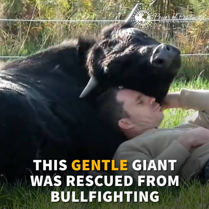 Into the Wild Festival news:  Bull Saved From Bullfighting Loves His Rescuer
