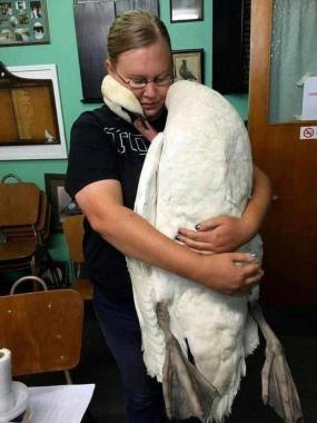 Into the Wild Festival news: A Swan embracing the veterinarian , who saved his life.