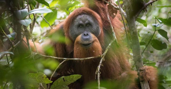 Into the Wild Festival news: Stop China from bulldozing the Tapanuli orangutan!