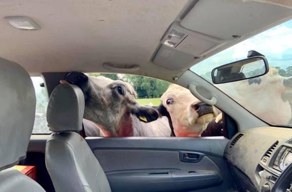 Cropredy news : The current residents are eating Farmer John's car. #insurance. #Cropredy2019.