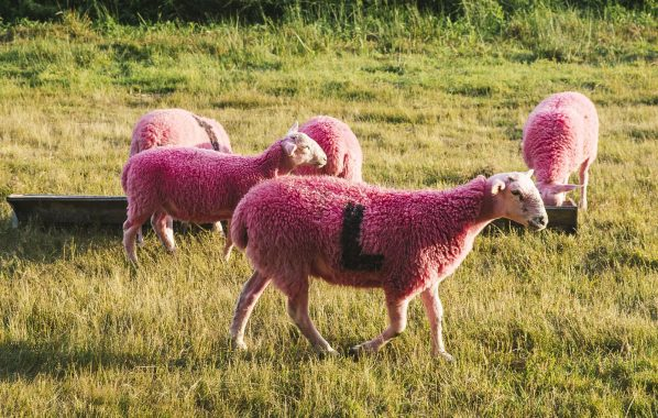 NME Festival blog: Petition launched to stop Latitude Festival from dyeing sheep pink